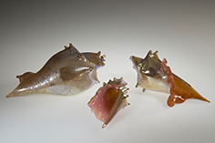 Golden Shells, Glass Art Made By Hollywood Hot Glass